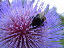 Bumblebee and globe thistle (Snowshill Manor, England)